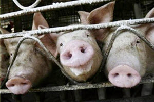 Swine Flu--What Can I Do About It?